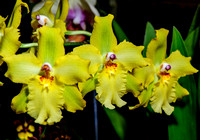 New Hampshire Orchid Society Show, Feb 10, 2013